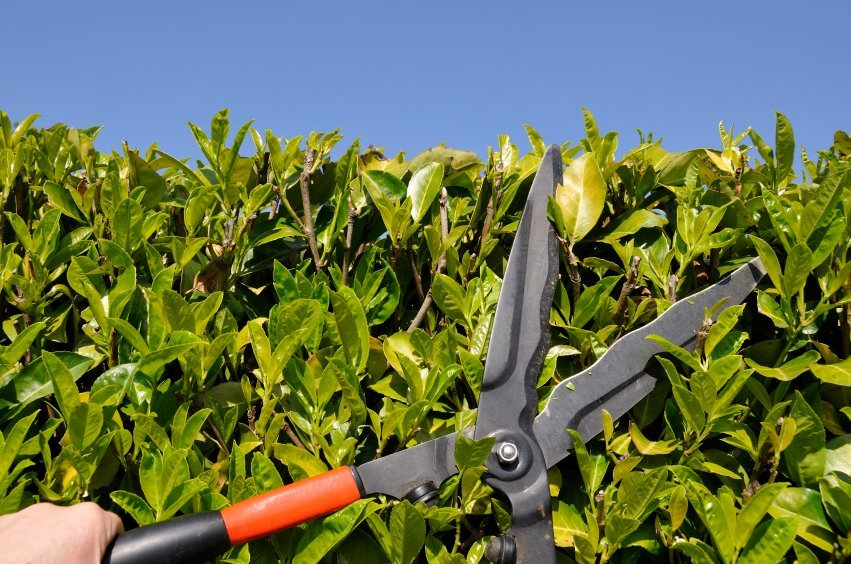 Renewal pruning of deciduous trees and shrubs