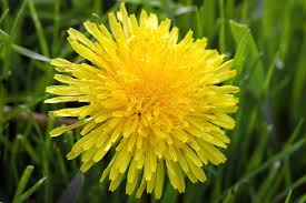Cooking with herbs – dandelion