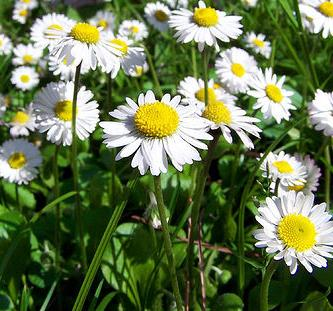 Plant of the month – Chamomile