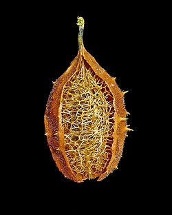 Growing your own loofah sponge